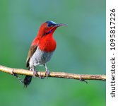 beautiful bird  male of crimson ... | Shutterstock . vector #1095817226