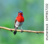 beautiful bird  male of crimson ... | Shutterstock . vector #1095817232