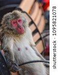 monkey forest  japan   Shutterstock . vector #1095821078