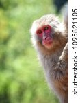 monkey forest  japan   Shutterstock . vector #1095821105