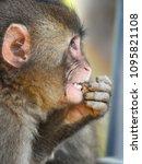 monkey forest  japan   Shutterstock . vector #1095821108