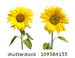 Two Yellow Sunflowers Isolated...