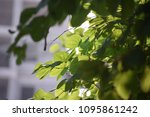 sunshine fresh green leaves ... | Shutterstock . vector #1095861242