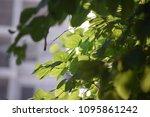 sunshine fresh green leaves ... | Shutterstock . vector #1095861242