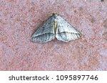 small white or silver fan foot... | Shutterstock . vector #1095897746