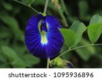 butterfly pea  clitoria... | Shutterstock . vector #1095936896