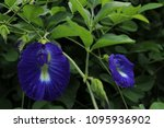 butterfly pea  clitoria... | Shutterstock . vector #1095936902
