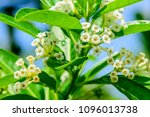 cestrum diurnum  king of the... | Shutterstock . vector #1096013738