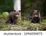 Wild Brown Bear Cub Closeup In...