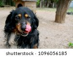Stock photo the funny dog with the tongue out 1096056185