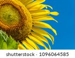Blooming Sunflower On Sunny...