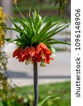 this orange imperial crown lily ... | Shutterstock . vector #1096148906