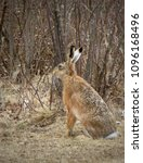 Small photo of Wild hare in a field