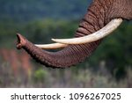 close up of the trunk and tusks ... | Shutterstock . vector #1096267025