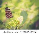 Tiger Mimic Queen  Lycorea...