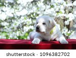 a little yellow labrador puppy... | Shutterstock . vector #1096382702