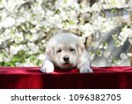 the little yellow labrador... | Shutterstock . vector #1096382705