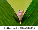 Dumpy Frog On Leaves, Frog, Amphibian, Reptile