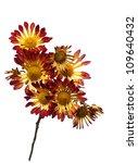 chrysanthemum isolated on white ... | Shutterstock . vector #109640432
