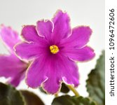 Small photo of African violet plant variety Icy Sunset with white and pink fresh beautiful flowers