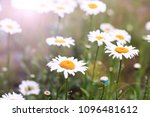 camomiles close up. flowers   Shutterstock . vector #1096481612