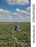 Small photo of Farmer or agronomist examining watermelon fruit and plant in field