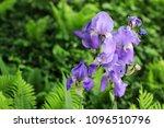 beautiful irises in the garden. ...   Shutterstock . vector #1096510796