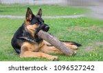 german shepherd plays | Shutterstock . vector #1096527242