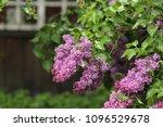 lilac bloom in the garden  | Shutterstock . vector #1096529678
