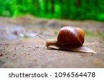 helix pomatia is also a roman... | Shutterstock . vector #1096564478