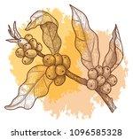 coffee branch with berries.... | Shutterstock .eps vector #1096585328