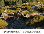 rutting of the mountain goat ... | Shutterstock . vector #1096609466