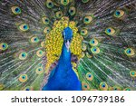 bright peacock in the zoo | Shutterstock . vector #1096739186