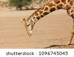 the south african giraffe ... | Shutterstock . vector #1096745045