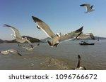 Small photo of Feeding Plucky Gulls Close-up on the ferry to Seongmodo Island, South Korea