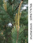 Small photo of young coniferous tree