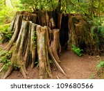 cathedral grove  old growth...