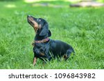dachshund on grass | Shutterstock . vector #1096843982