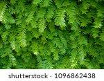 garden spruce natural tree... | Shutterstock . vector #1096862438