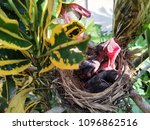 hungry baby birds | Shutterstock . vector #1096862516