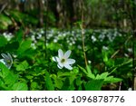 a meadow of beautiful white... | Shutterstock . vector #1096878776