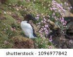 razorbill on the edge of a... | Shutterstock . vector #1096977842