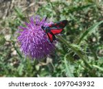 Small photo of falter black red