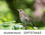 turdus pilaris on a branch in... | Shutterstock . vector #1097076665