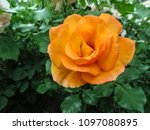 Amazing Beautiful Orange Rose...