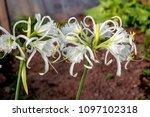 peruvian daffodil  hymenocallis ... | Shutterstock . vector #1097102318