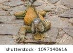 large wild iguana roaming free... | Shutterstock . vector #1097140616