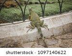 large wild iguana roaming free... | Shutterstock . vector #1097140622