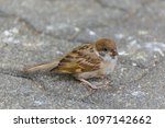 bird  eurasian tree sparrow ... | Shutterstock . vector #1097142662