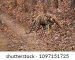 tiger  noor cub on the dry... | Shutterstock . vector #1097151725